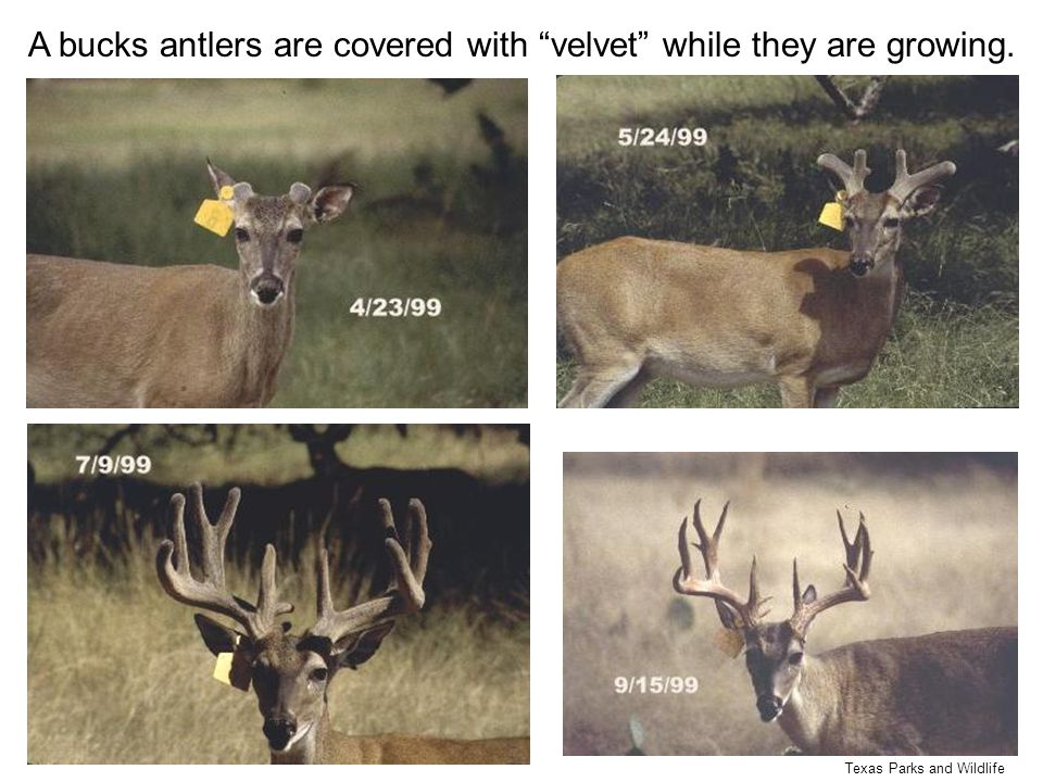 "Texas Parks and Wildlife A bucks antlers are covered with ""velvet"" while they are growing."