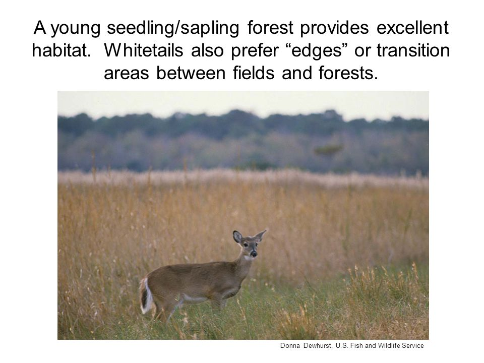"A young seedling/sapling forest provides excellent habitat. Whitetails also prefer ""edges"" or transition areas between fields and forests. Donna Dewhu"