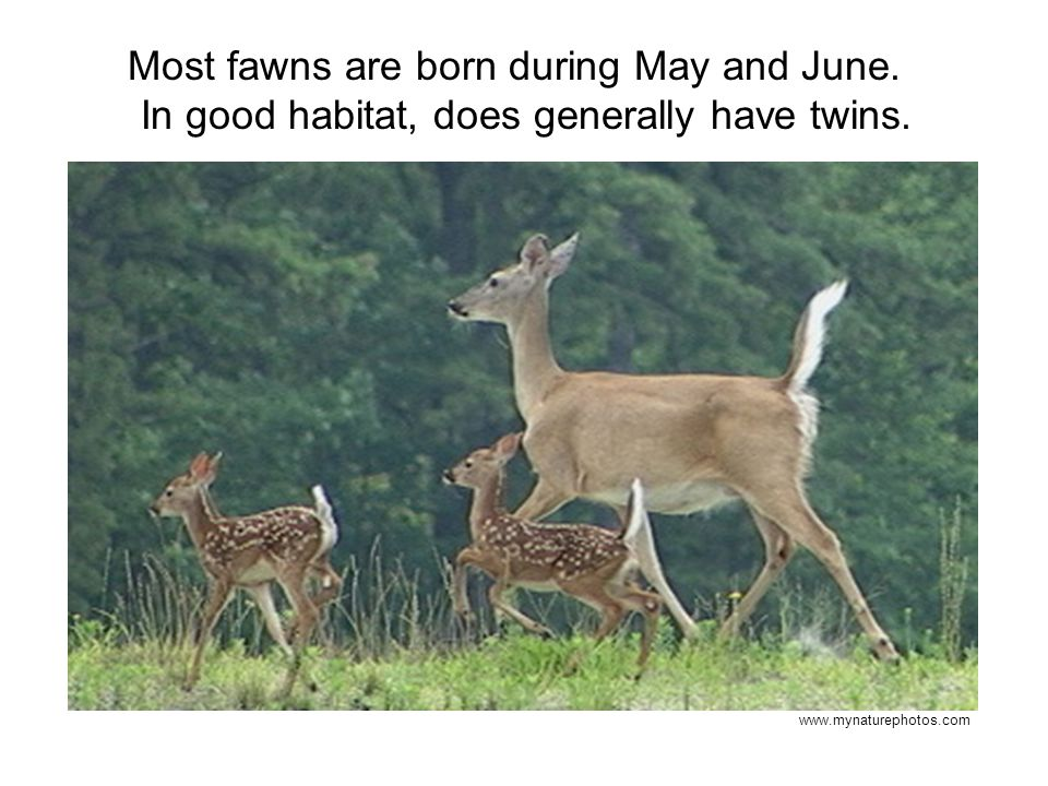 Most fawns are born during May and June. In good habitat, does generally have twins. www.mynaturephotos.com