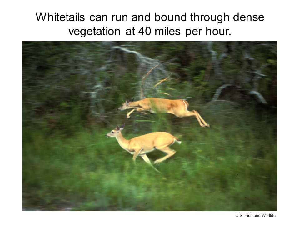 Whitetails can run and bound through dense vegetation at 40 miles per hour. U.S. Fish and Wildlife