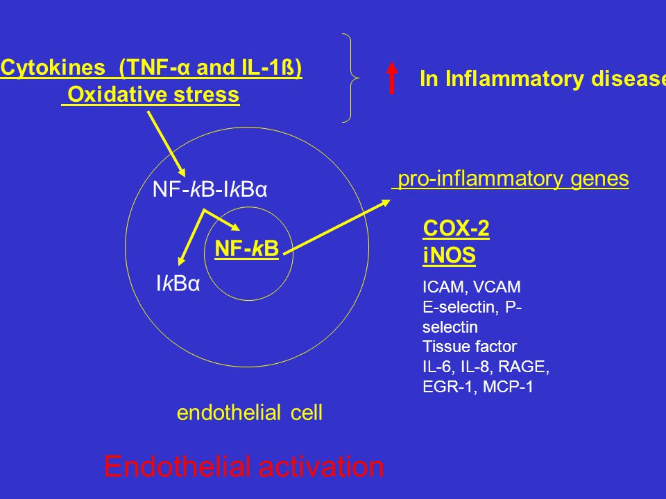 NF-kB-IkBα IkBα NF-kB pro-inflammatory genes COX-2 iNOS ICAM, VCAM E-selectin, P- selectin Tissue factor IL-6, IL-8, RAGE, EGR-1, MCP-1 endothelial ce