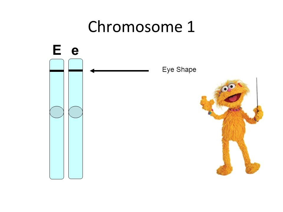 Chromosome 1 Eye Shape E e
