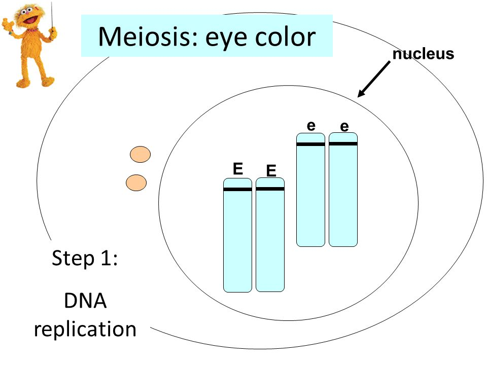 E E nucleus e e Step 1: DNA replication Meiosis: eye color