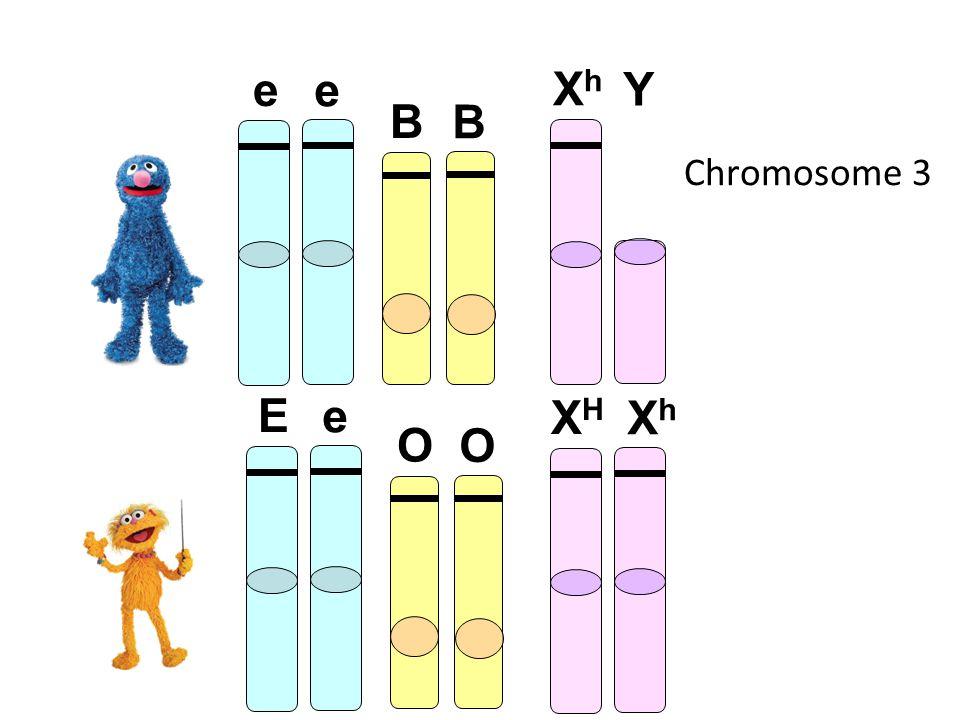 Chromosome 3 B B O O E e e e XHXH XhXh XhXh Y