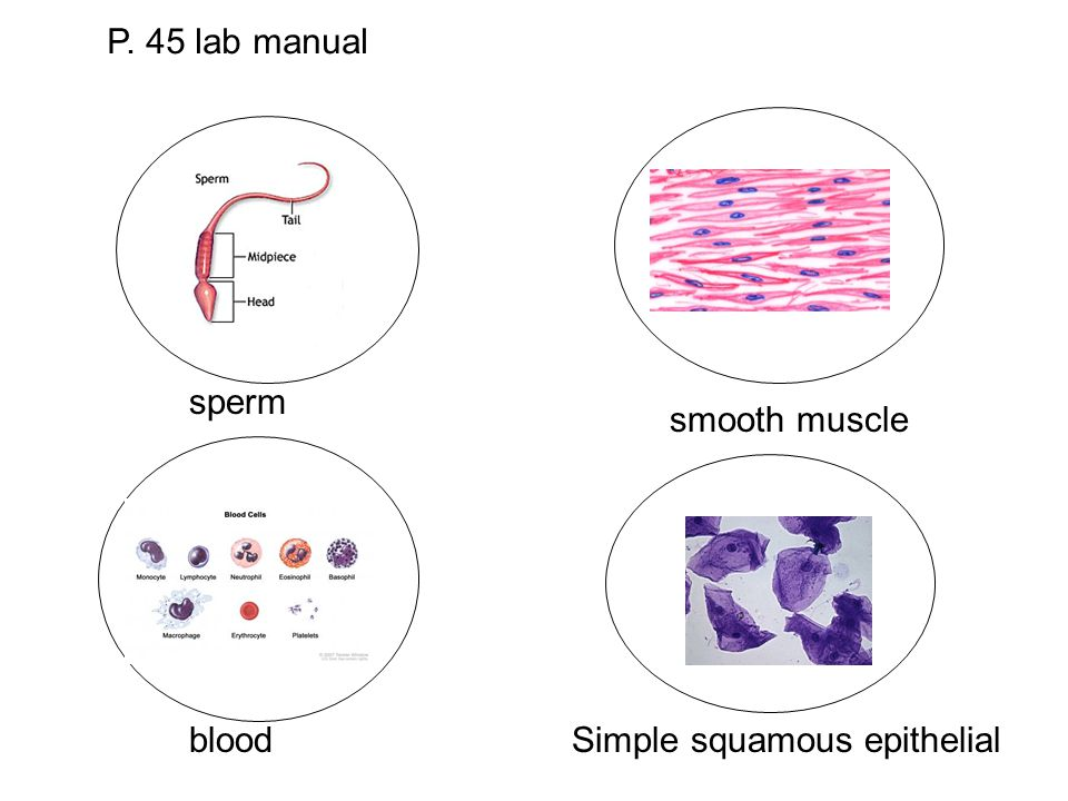 P. 45 lab manual sperm blood smooth muscle Simple squamous epithelial