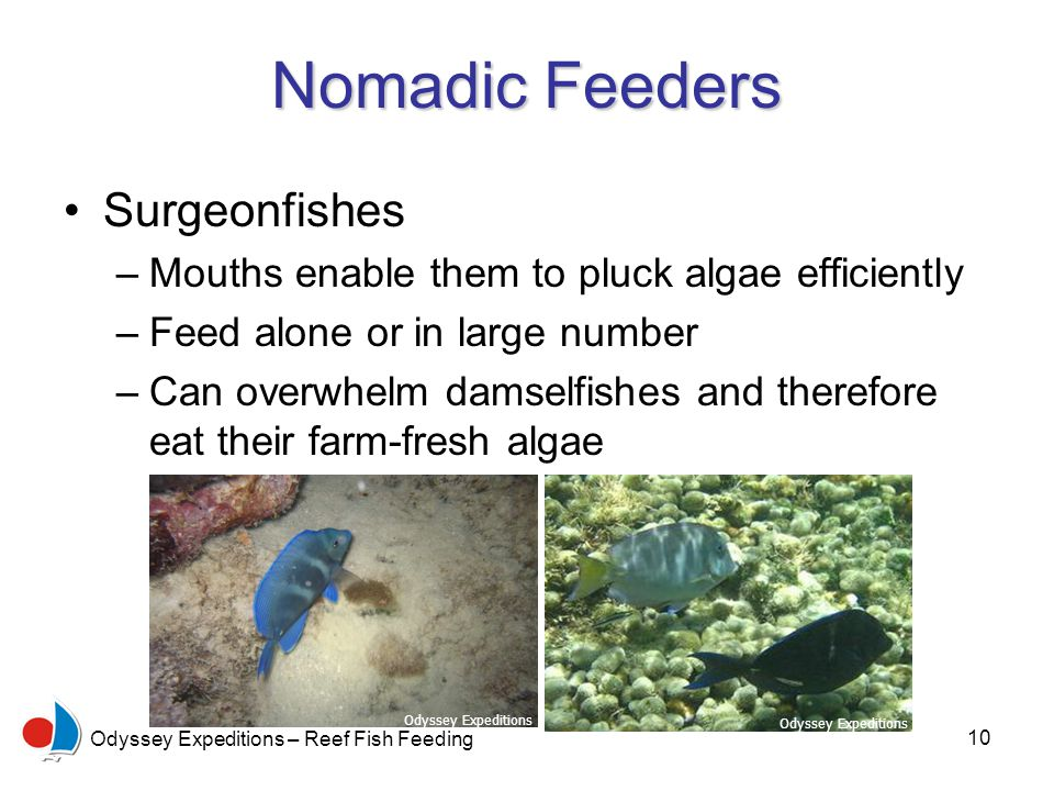 10 Odyssey Expeditions – Reef Fish Feeding Nomadic Feeders Surgeonfishes –Mouths enable them to pluck algae efficiently –Feed alone or in large number –Can overwhelm damselfishes and therefore eat their farm-fresh algae Odyssey Expeditions