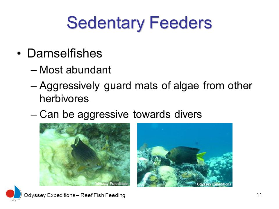 11 Odyssey Expeditions – Reef Fish Feeding Sedentary Feeders Damselfishes –Most abundant –Aggressively guard mats of algae from other herbivores –Can be aggressive towards divers Odyssey Expeditions