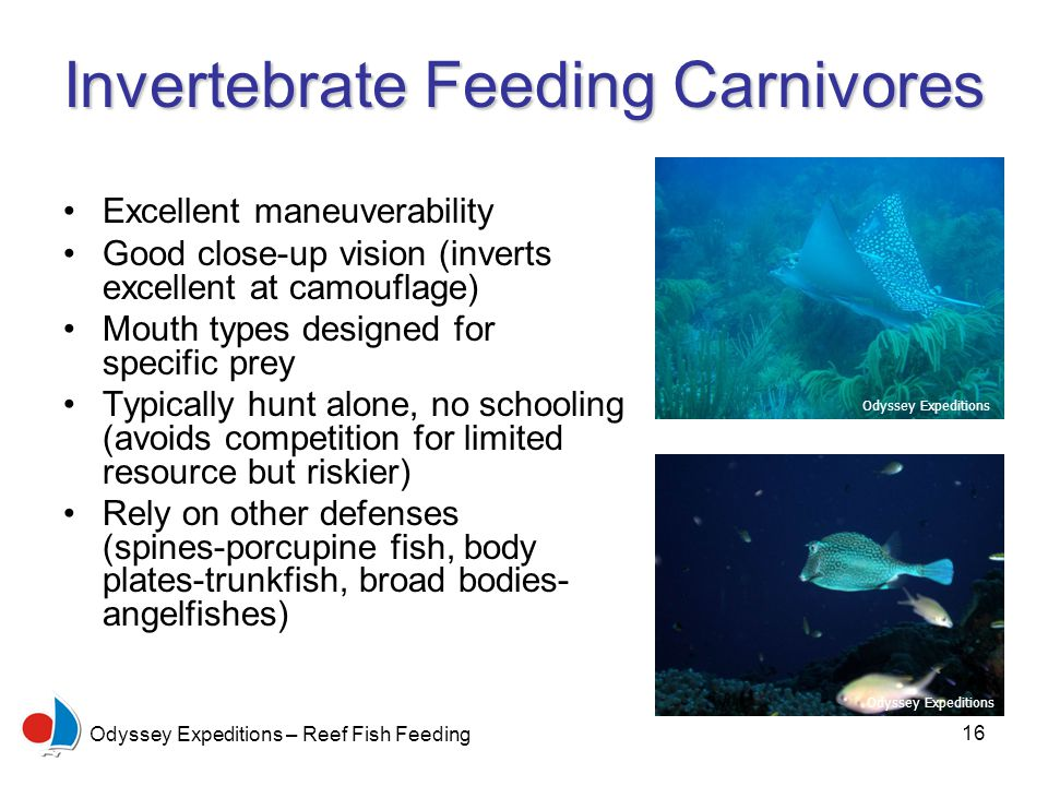 16 Odyssey Expeditions – Reef Fish Feeding Invertebrate Feeding Carnivores Excellent maneuverability Good close-up vision (inverts excellent at camouflage) Mouth types designed for specific prey Typically hunt alone, no schooling (avoids competition for limited resource but riskier) Rely on other defenses (spines-porcupine fish, body plates-trunkfish, broad bodies- angelfishes) Odyssey Expeditions