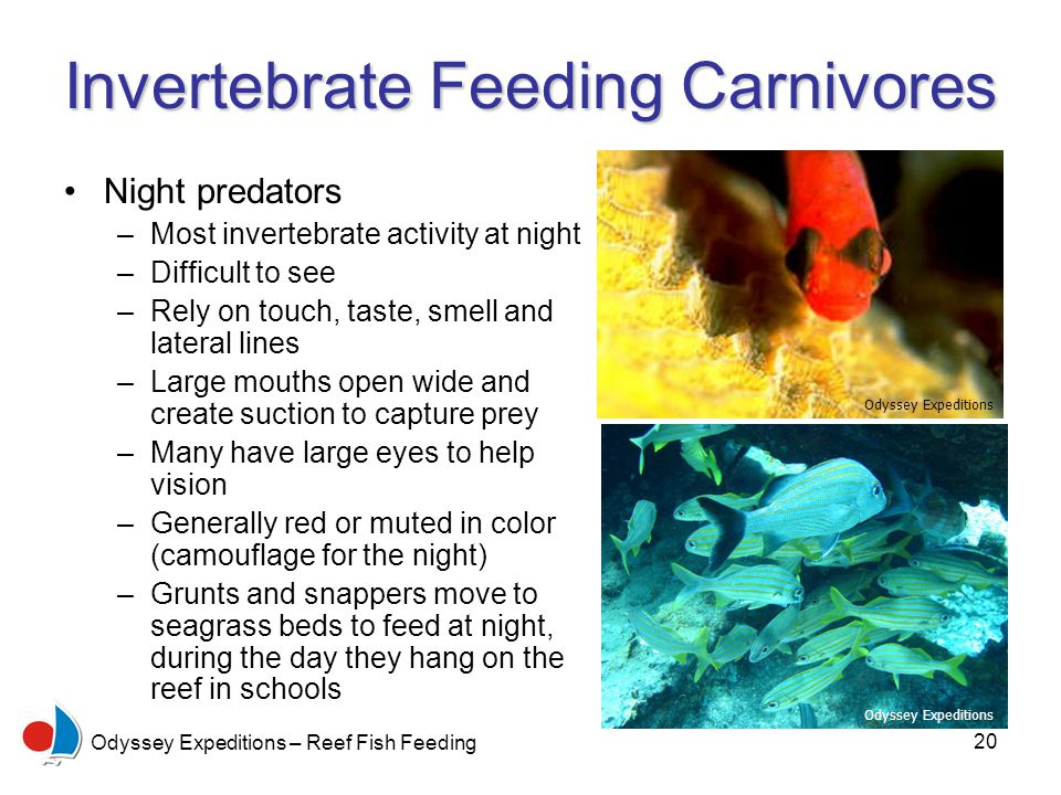 20 Odyssey Expeditions – Reef Fish Feeding Invertebrate Feeding Carnivores Night predators –Most invertebrate activity at night –Difficult to see –Rely on touch, taste, smell and lateral lines –Large mouths open wide and create suction to capture prey –Many have large eyes to help vision –Generally red or muted in color (camouflage for the night) –Grunts and snappers move to seagrass beds to feed at night, during the day they hang on the reef in schools Odyssey Expeditions
