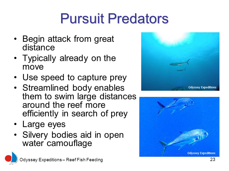 23 Odyssey Expeditions – Reef Fish Feeding Pursuit Predators Begin attack from great distance Typically already on the move Use speed to capture prey Streamlined body enables them to swim large distances around the reef more efficiently in search of prey Large eyes Silvery bodies aid in open water camouflage Odyssey Expeditions