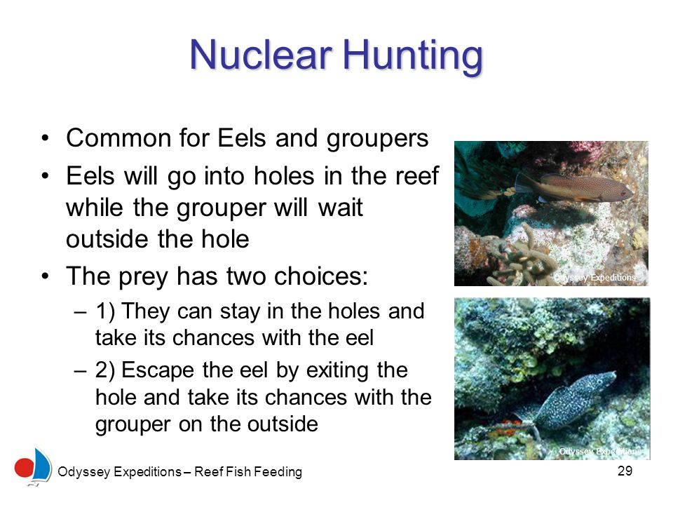 29 Odyssey Expeditions – Reef Fish Feeding Nuclear Hunting Common for Eels and groupers Eels will go into holes in the reef while the grouper will wait outside the hole The prey has two choices: –1) They can stay in the holes and take its chances with the eel –2) Escape the eel by exiting the hole and take its chances with the grouper on the outside Odyssey Expeditions