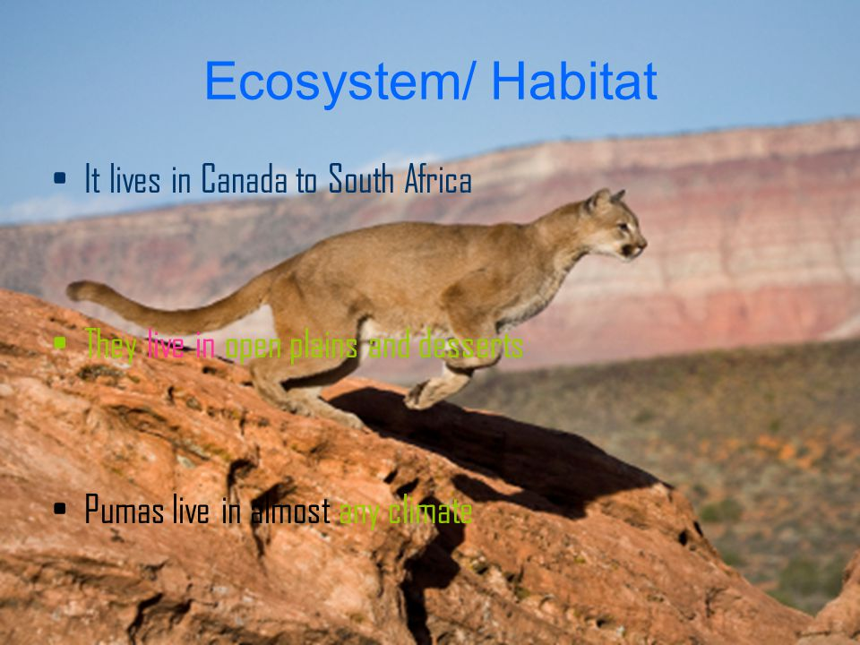 Ecosystem/ Habitat It lives in Canada to South Africa They live in open plains and desserts Pumas live in almost any climate