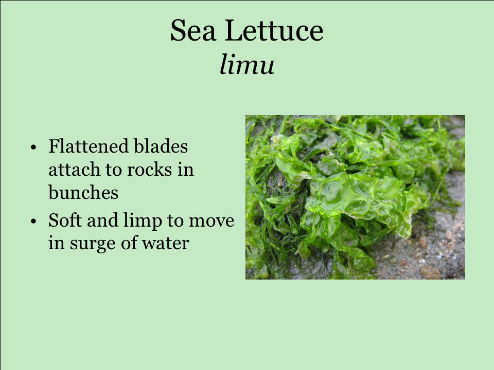 Sea Lettuce limu Flattened blades attach to rocks in bunches Soft and limp to move in surge of water