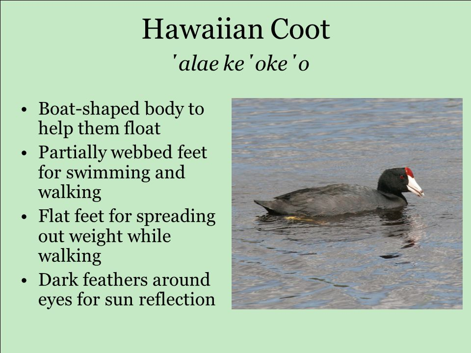 Hawaiian Coot ΄alae ke΄oke΄o Boat-shaped body to help them float Partially webbed feet for swimming and walking Flat feet for spreading out weight while walking Dark feathers around eyes for sun reflection