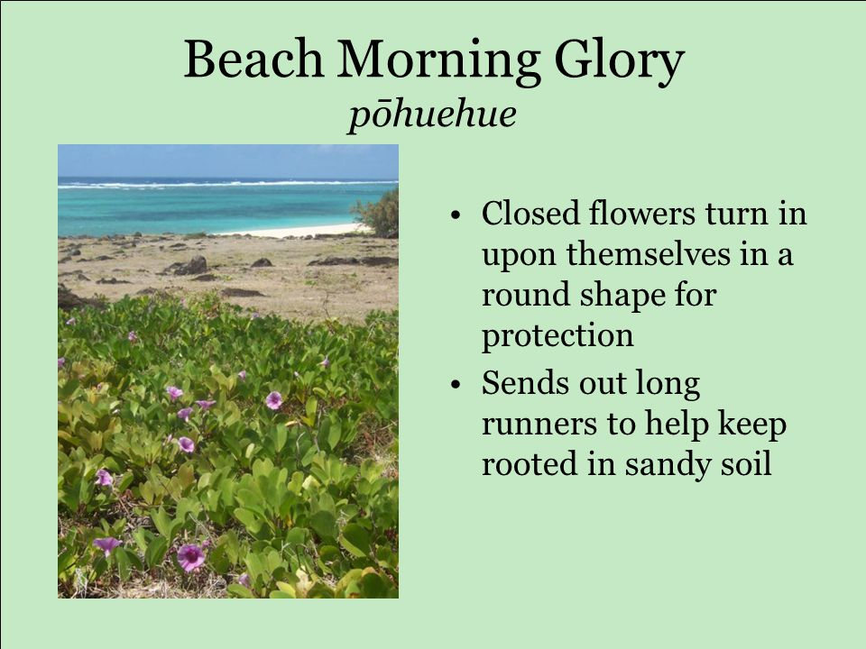 Beach Morning Glory pōhuehue Closed flowers turn in upon themselves in a round shape for protection Sends out long runners to help keep rooted in sandy soil