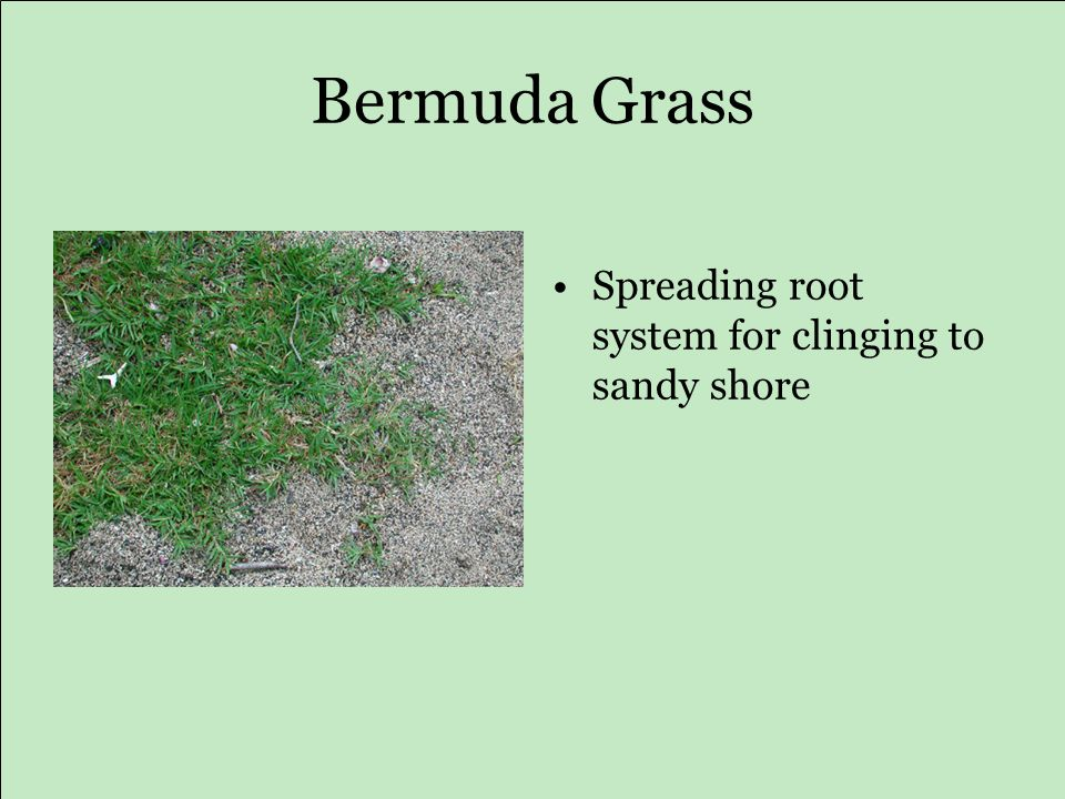 Bermuda Grass Spreading root system for clinging to sandy shore