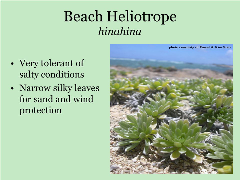 Beach Heliotrope hinahina Very tolerant of salty conditions Narrow silky leaves for sand and wind protection