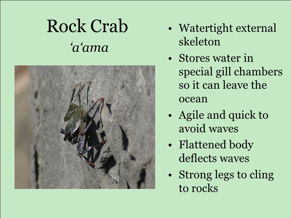 Rock Crab 'a'ama Watertight external skeleton Stores water in special gill chambers so it can leave the ocean Agile and quick to avoid waves Flattened body deflects waves Strong legs to cling to rocks