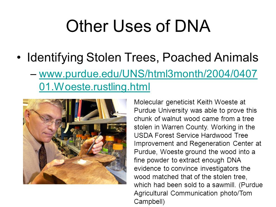 Other Uses of DNA Identifying Stolen Trees, Poached Animals –www.purdue.edu/UNS/html3month/2004/0407 01.Woeste.rustling.htmlwww.purdue.edu/UNS/html3month/2004/0407 01.Woeste.rustling.html Molecular geneticist Keith Woeste at Purdue University was able to prove this chunk of walnut wood came from a tree stolen in Warren County.