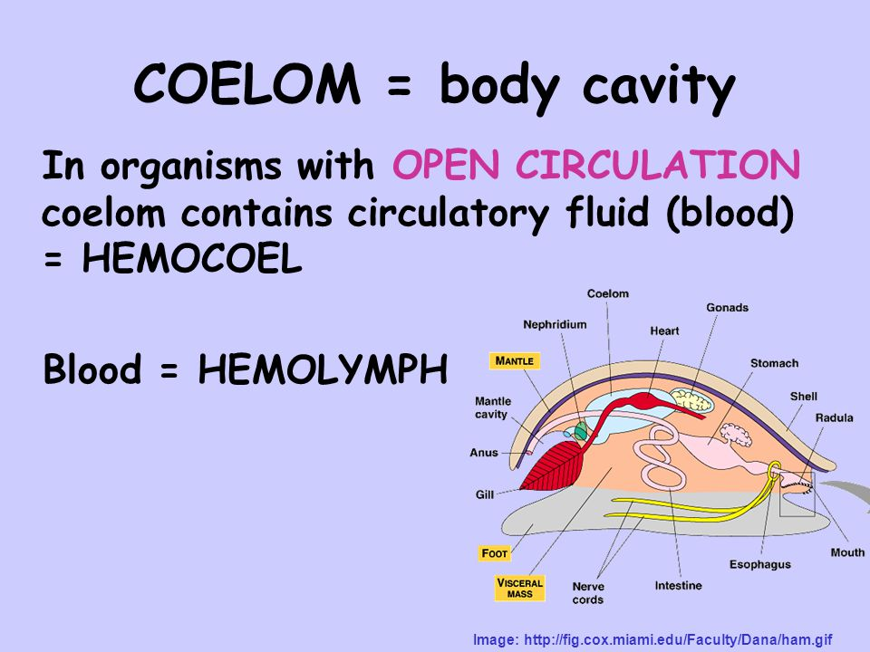 COELOM = body cavity In organisms with OPEN CIRCULATION coelom contains circulatory fluid (blood) = HEMOCOEL Blood = HEMOLYMPH Image: http://fig.cox.miami.edu/Faculty/Dana/ham.gif