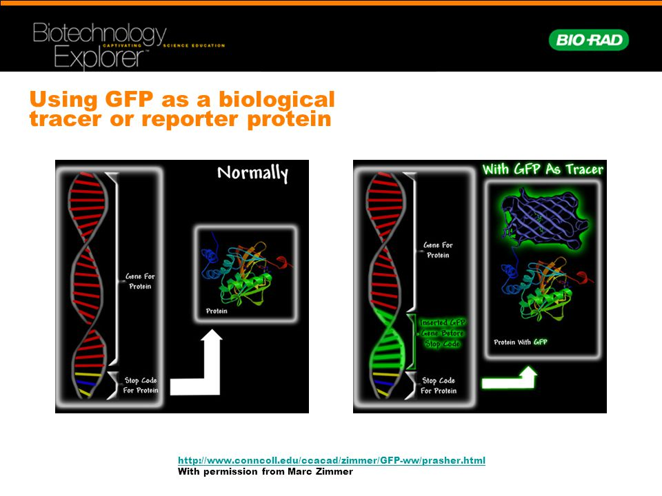 Using GFP as a biological tracer or reporter protein http://www.conncoll.edu/ccacad/zimmer/GFP-ww/prasher.html With permission from Marc Zimmer