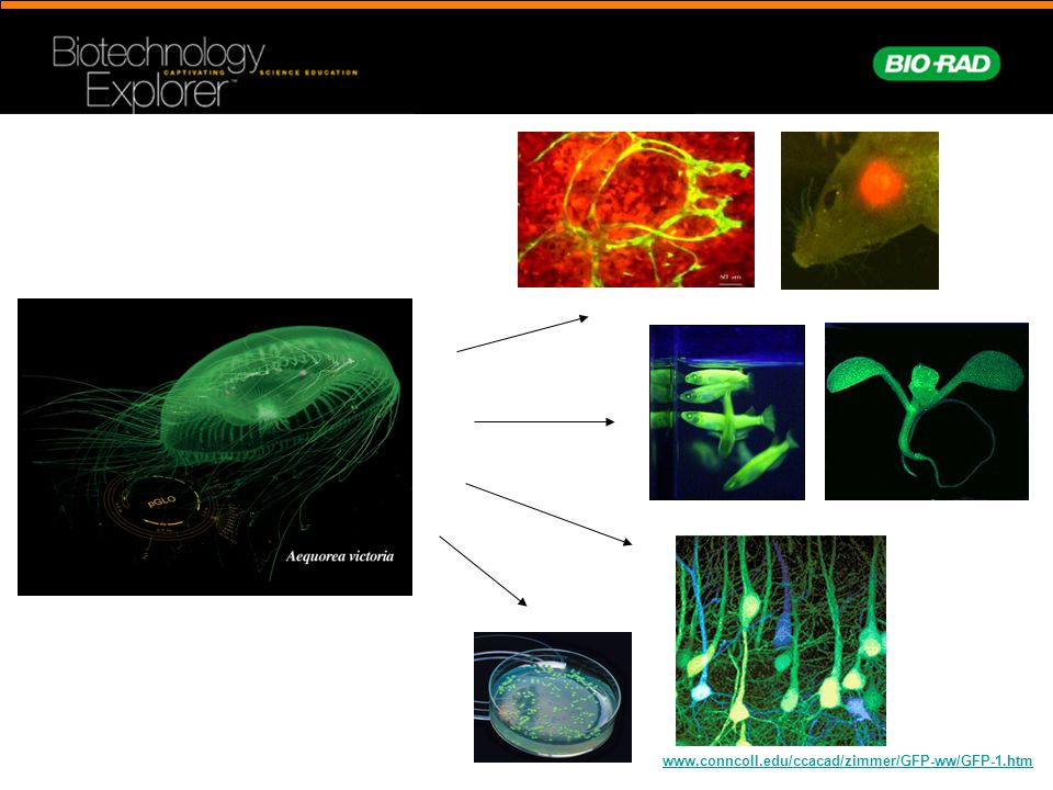 www.conncoll.edu/ccacad/zimmer/GFP-ww/GFP-1.htm