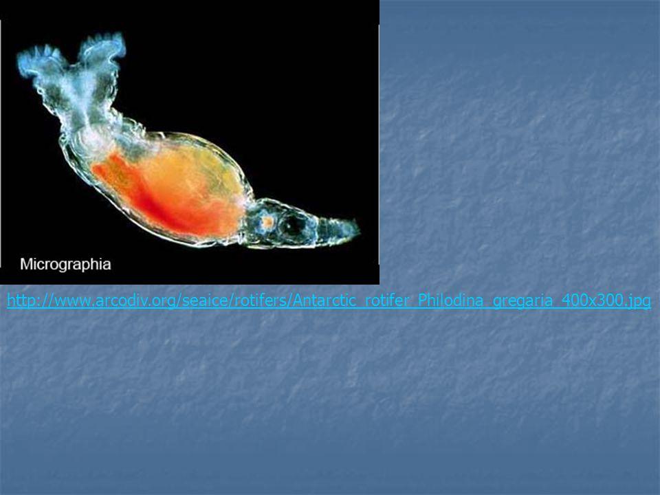 http://www.arcodiv.org/seaice/rotifers/Antarctic_rotifer_Philodina_gregaria_400x300.jpg