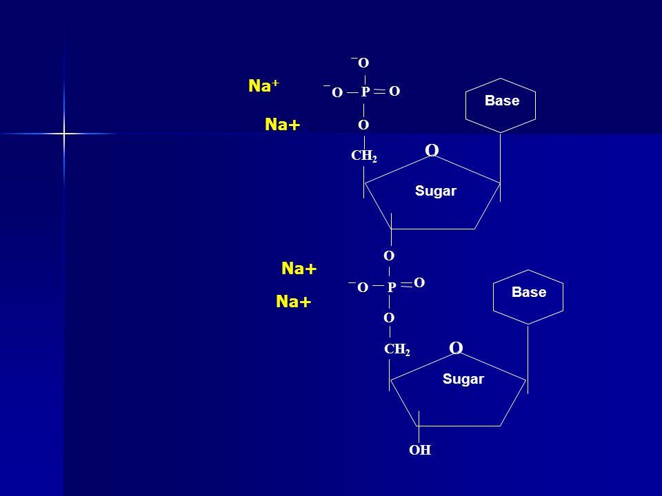 Na + O CH 2 O P O O O Base CH 2 O P O O O Base OH Sugar O