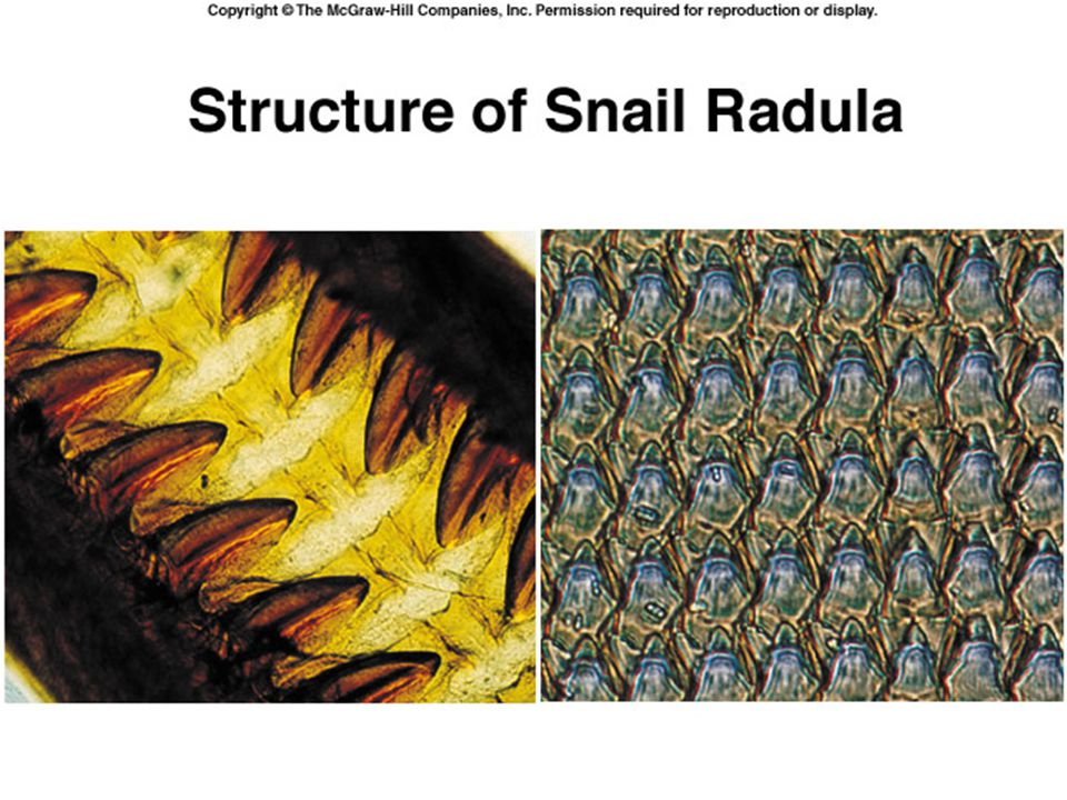 Function of the Radula A layer of flexible skin, with hundred of sandpapery teeth, used to scrape algae off of rocks In full-on carnivore mode, the ra