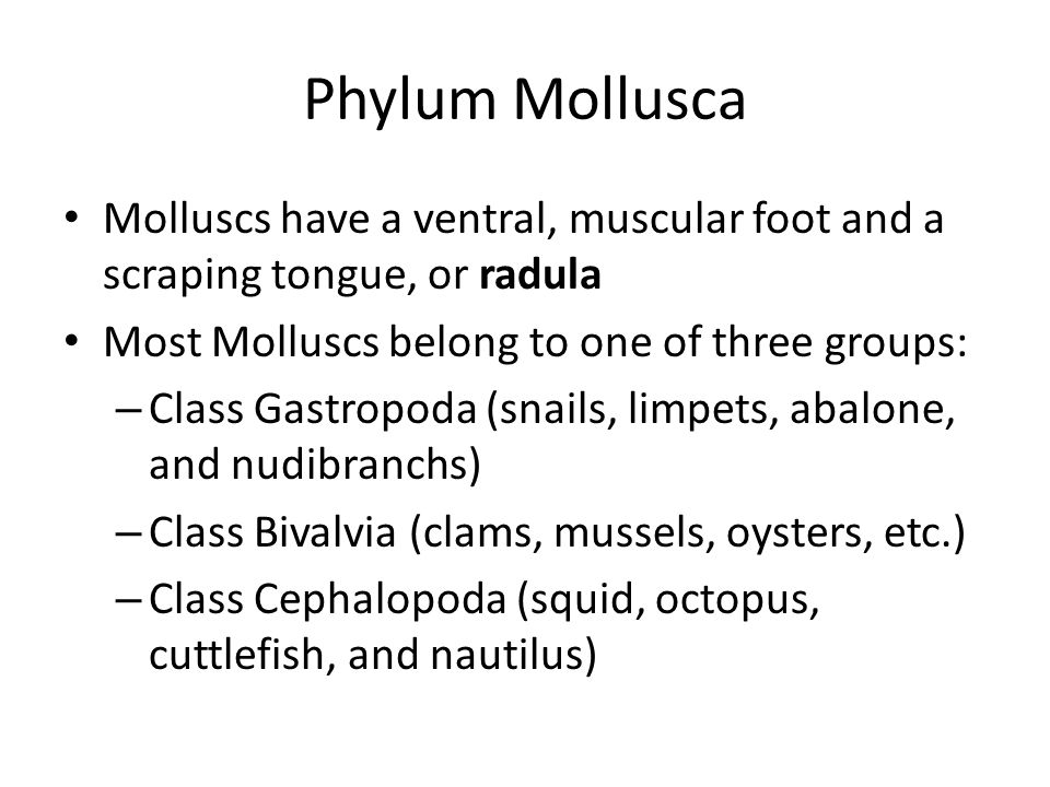 Phylum Mollusca Molluscs have a ventral, muscular foot and a scraping tongue, or radula Most Molluscs belong to one of three groups: – Class Gastropoda (snails, limpets, abalone, and nudibranchs) – Class Bivalvia (clams, mussels, oysters, etc.) – Class Cephalopoda (squid, octopus, cuttlefish, and nautilus)
