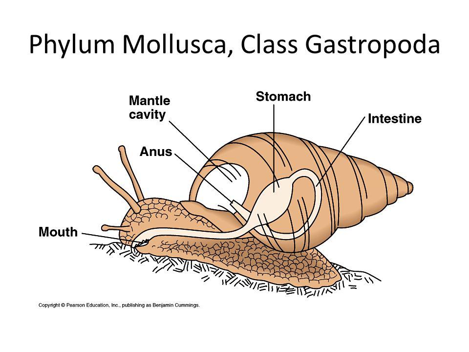 Phylum Mollusca, Class Gastropoda