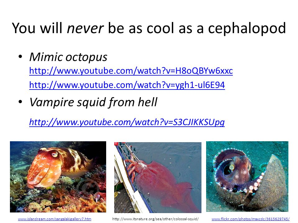 You will never be as cool as a cephalopod Mimic octopus http://www.youtube.com/watch?v=H8oQBYw6xxc http://www.youtube.com/watch?v=H8oQBYw6xxc http://www.youtube.com/watch?v=ygh1-ul6E94 Vampire squid from hell http://www.youtube.com/watch?v=S3CJIKKSUpg www.islandream.com/sangalakigallery7.htmhttp://www.itsnature.org/sea/other/colossal-squid/www.flickr.com/photos/maxcdc/3615629745/