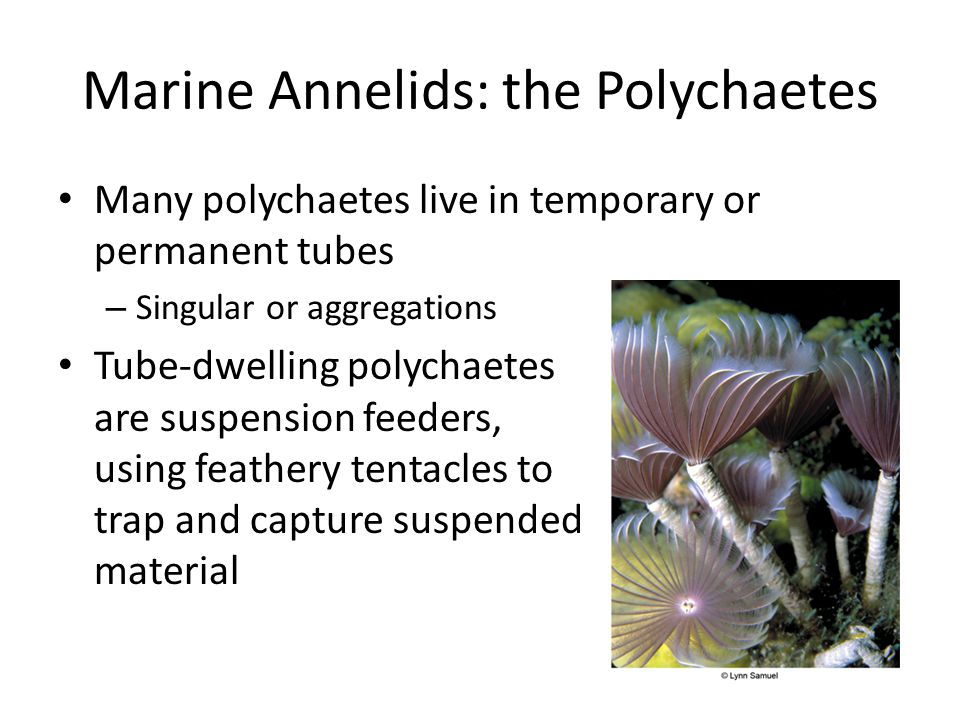 Marine Annelids: the Polychaetes Many polychaetes live in temporary or permanent tubes – Singular or aggregations Tube-dwelling polychaetes are suspension feeders, using feathery tentacles to trap and capture suspended material
