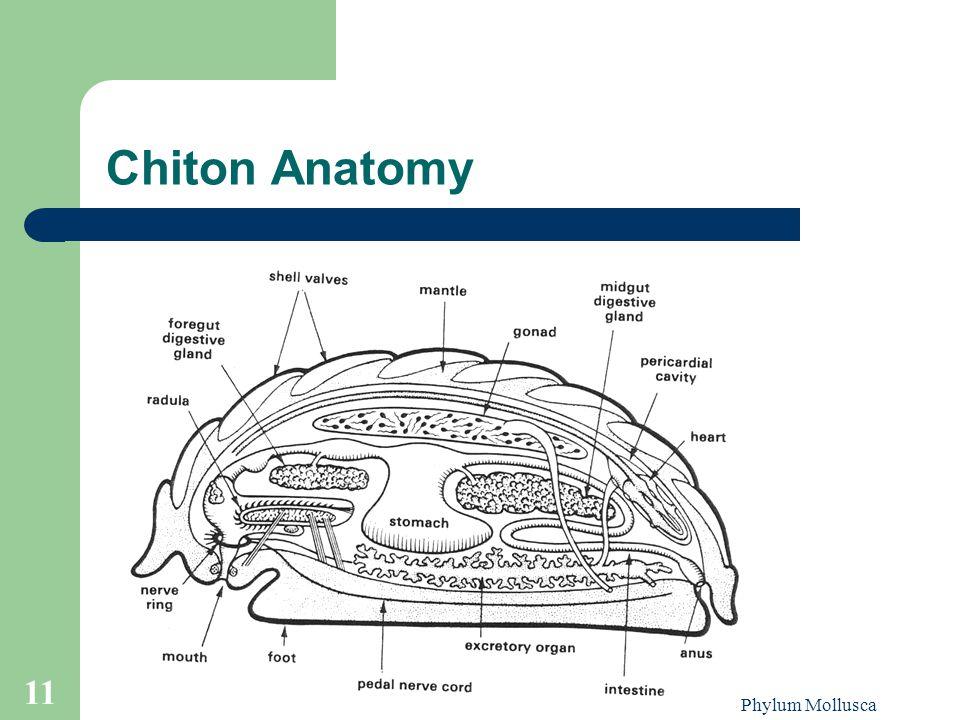 Phylum Mollusca 11 Chiton Anatomy