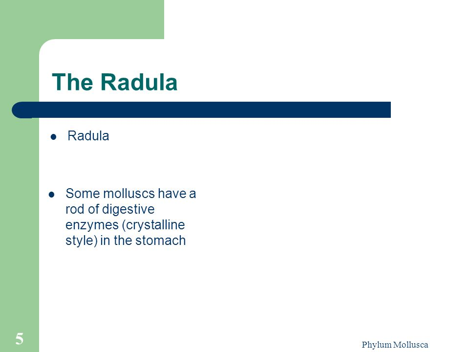 Phylum Mollusca 5 The Radula Radula Some molluscs have a rod of digestive enzymes (crystalline style) in the stomach