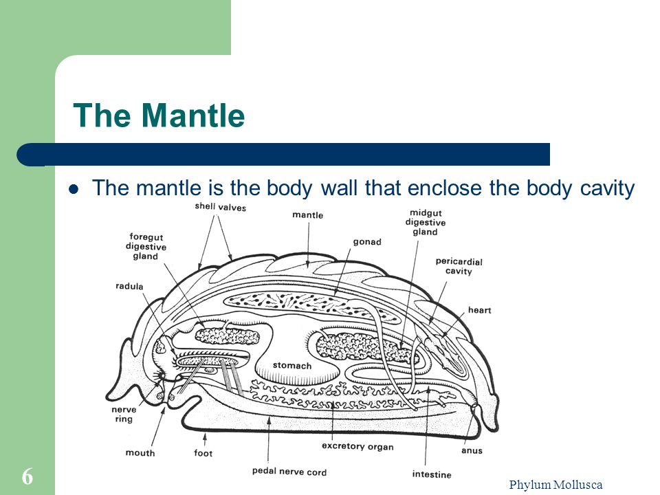 Phylum Mollusca 6 The Mantle The mantle is the body wall that enclose the body cavity