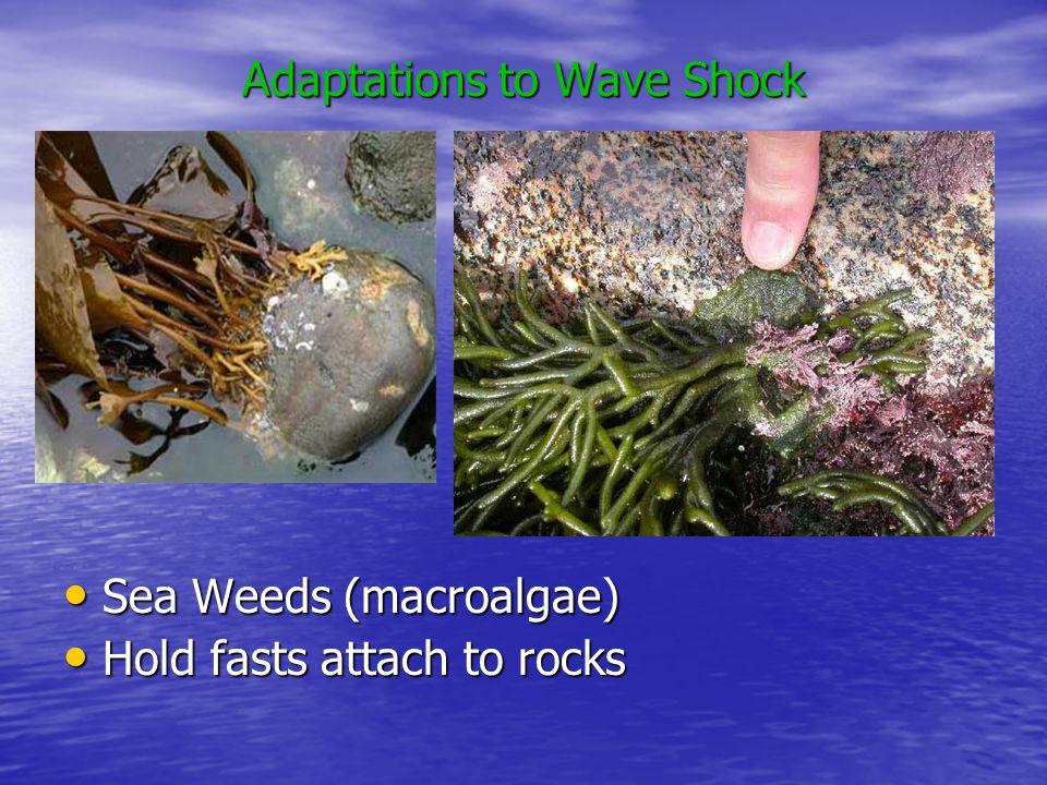 Adaptations to Wave Shock Sea Weeds (macroalgae) Sea Weeds (macroalgae) Hold fasts attach to rocks Hold fasts attach to rocks