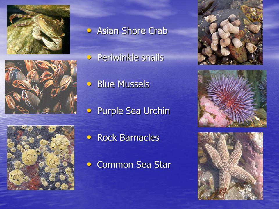Asian Shore Crab Asian Shore Crab Periwinkle snails Periwinkle snails Blue Mussels Blue Mussels Purple Sea Urchin Purple Sea Urchin Rock Barnacles Roc