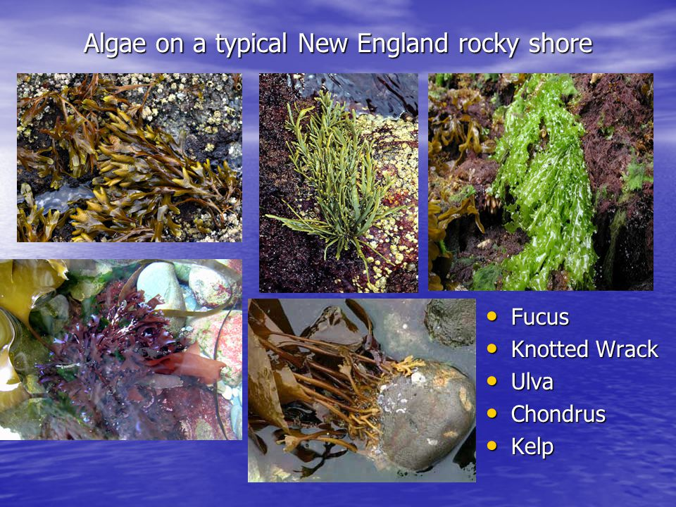Algae on a typical New England rocky shore Fucus Fucus Knotted Wrack Knotted Wrack Ulva Ulva Chondrus Chondrus Kelp Kelp