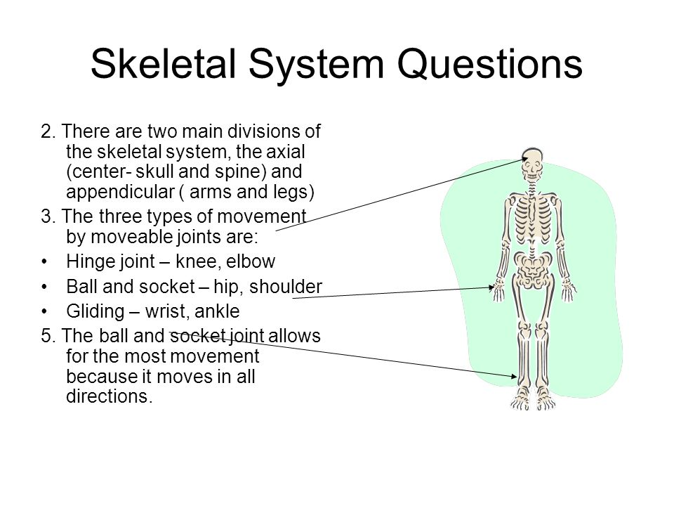 Skeletal System Questions 2. There are two main divisions of the skeletal system, the axial (center- skull and spine) and appendicular ( arms and legs