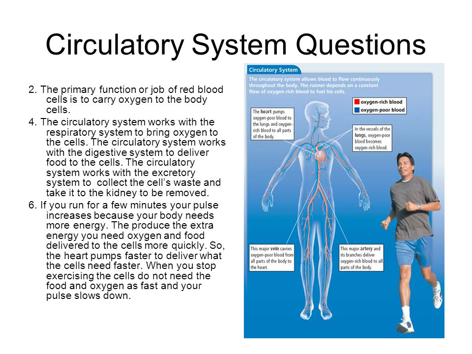 Circulatory System Questions 2. The primary function or job of red blood cells is to carry oxygen to the body cells. 4. The circulatory system works w