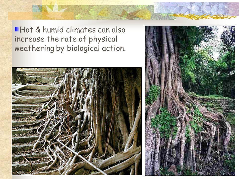 Hot & humid climates can also increase the rate of physical weathering by biological action.