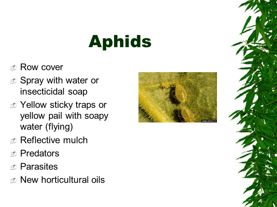 Aphids  Row cover  Spray with water or insecticidal soap  Yellow sticky traps or yellow pail with soapy water (flying)  Reflective mulch  Predators  Parasites  New horticultural oils