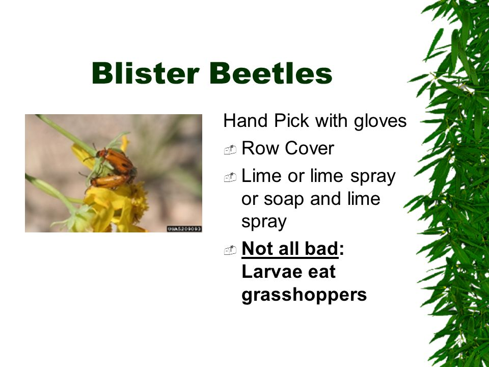 Blister Beetles Hand Pick with gloves  Row Cover  Lime or lime spray or soap and lime spray  Not all bad: Larvae eat grasshoppers