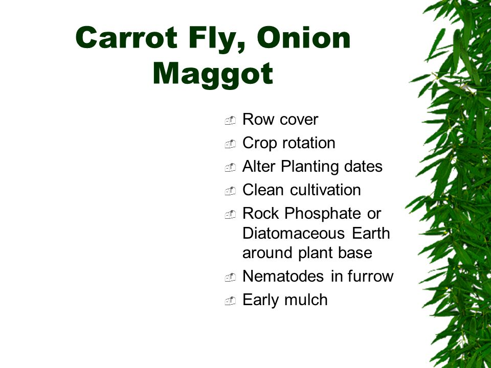 Carrot Fly, Onion Maggot  Row cover  Crop rotation  Alter Planting dates  Clean cultivation  Rock Phosphate or Diatomaceous Earth around plant base  Nematodes in furrow  Early mulch