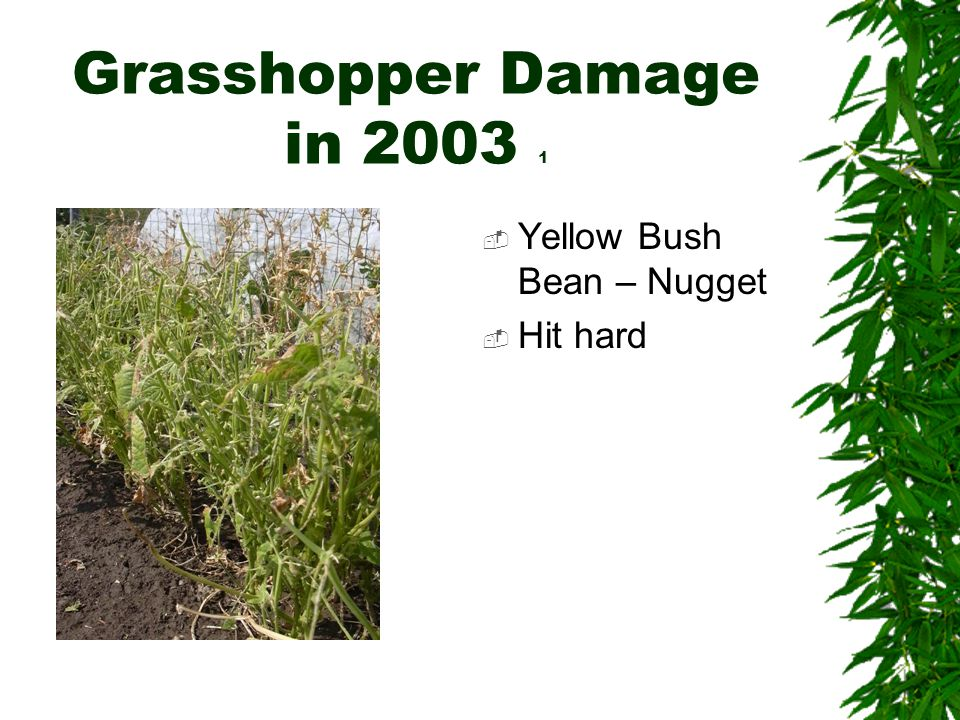Grasshopper Damage in 2003 1  Yellow Bush Bean – Nugget  Hit hard