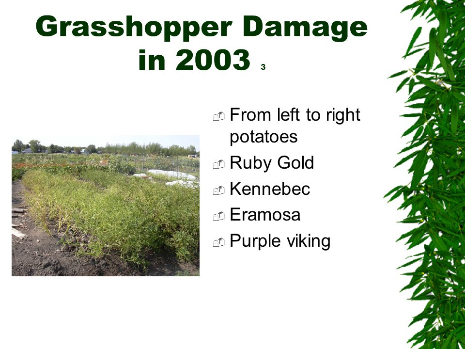 Grasshopper Damage in 2003 3  From left to right potatoes  Ruby Gold  Kennebec  Eramosa  Purple viking