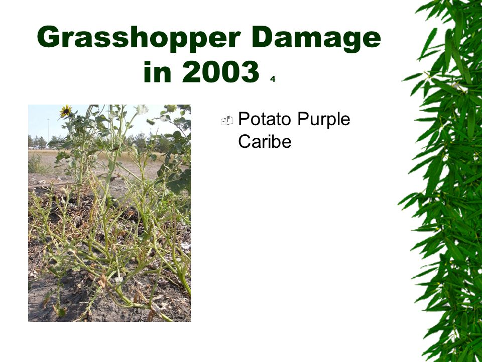 Grasshopper Damage in 2003 4  Potato Purple Caribe