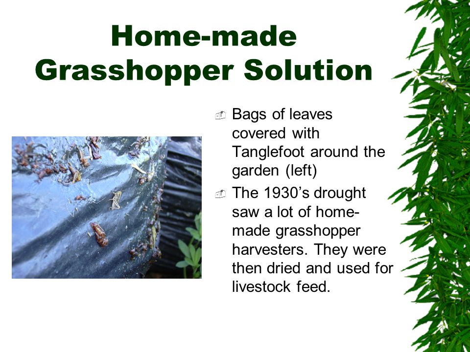 Home-made Grasshopper Solution  Bags of leaves covered with Tanglefoot around the garden (left)  The 1930's drought saw a lot of home- made grasshopper harvesters.