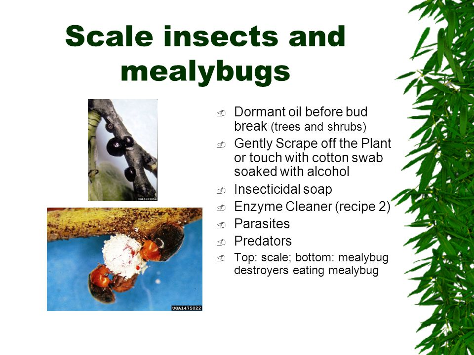 Scale insects and mealybugs  Dormant oil before bud break (trees and shrubs)  Gently Scrape off the Plant or touch with cotton swab soaked with alcohol  Insecticidal soap  Enzyme Cleaner (recipe 2)  Parasites  Predators  Top: scale; bottom: mealybug destroyers eating mealybug